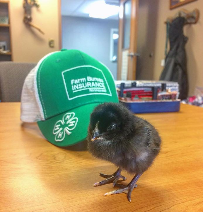 baby chick with a 4-H hat in the background